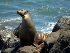 A sea lion sunning itself; North Seymour Island