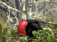 Male frigatebirds inflate a red gular sac with air to attract females during breeding season