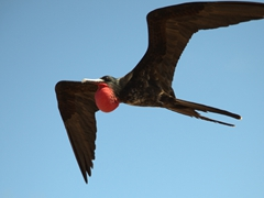 Adult male magnificent frigatebird in flight; North Seymour Island