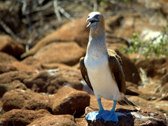 Blue footed booby; North Seymour Island