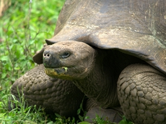 Munching giant tortoise