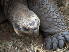 Detail of a galapagos giant tortoise; Charles Darwin Research Center