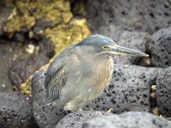 Lava heron; Puerto Ayora
