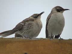 Galapagos mockingbirds