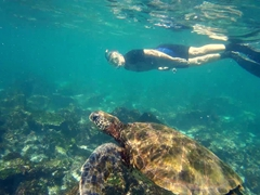 Robby checking out one of dozens of green sea turtles at La Loberia; San Cristobal