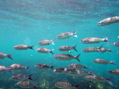 Shoal of black striped salema fish; La Loberia