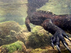 A marine iguana swimming to shore after feeding on algae; Playa Punta Carola