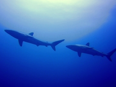 Two silky sharks checking us out from the blue; Wolf Island