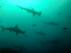 A school of scalloped hammerhead sharks; Wolf Island