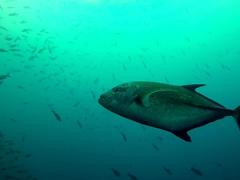 Black jack fish; Wolf Island