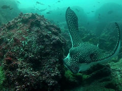A scavenging spotted eagle ray; Wolf Island