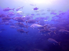 School of trevally jack fish; Darwin's Arch