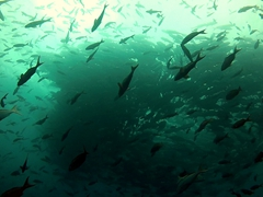 A tornado shaped swarm of pacific creole fish; Darwin's Arch