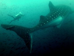Flavia is tiny compared to this heavily pregnant whale shark; Darwin's Arch