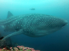A heavily pregnant whale shark swims by; Darwin's Arch