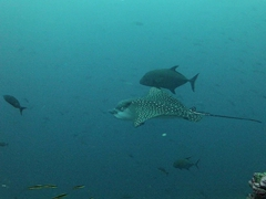 "A black jack fish ""rides"" a spotted eagle ray; Wolf Island"