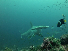 A scalloped hammerhead shark swims up close to our dive group; Wolf Island