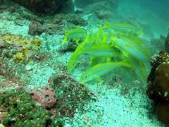 Mexican goatfish; Wolf Island