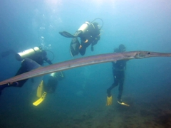 A reef cornetfish swims past our group; Cousin's Rock