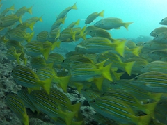 School of bluestriped snapper; Cousin's Rock