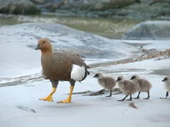 Magellan goose (or upland goose) and goslings