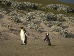 Check out the size difference between a king and a magellanic penguin!