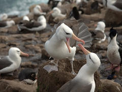 Albatross mating ritual