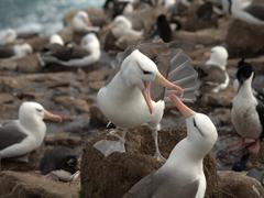 Albatross mating ritual