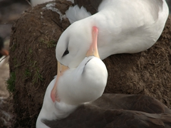 A bonded pair of albatrosses lovingly nuzzle each other for well over an hour