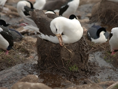 This albatross is painstakingly building its nest up with vegetation and mud