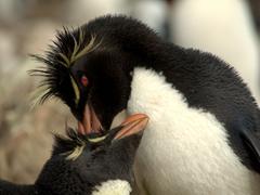 Rockhopper penguin pair preening each other