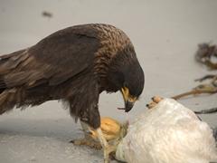 A caracara feeds on a gentoo carcass