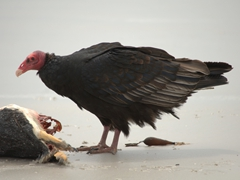 This turkey vulture scares the caracara away and claims the penguin carcass for itself