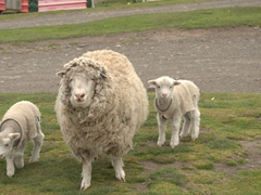 Keeping the baby lambs warm with hand knitted sweaters; the settlement