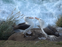 Romance by the water's edge as this albatross pair hits it off