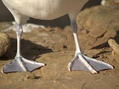 Albatross feet