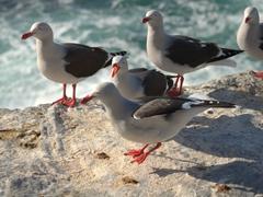 Dolphin gulls screeching a warning as we approach