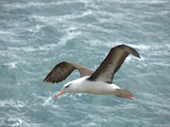 Hard to envision but the average black browed albatross has a 7 foot wing span!