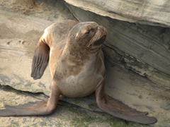 Sea lion resting on the cliff face at the rookery