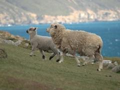 Sheep at the rookery