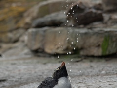 Watching penguins take a shower never gets old!