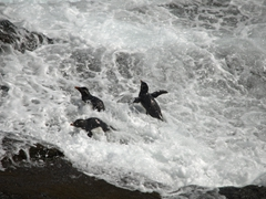 Rockhoppers propelling themselves out of the raging sea below the colony at the rookery