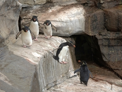 How rockhopper penguins get their name