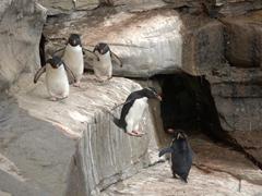 How rockhopper penguins get their name