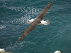 7 foot wingspan of a lovely albatross - our favorite seabird!
