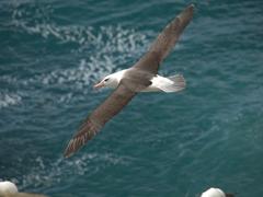 7 foot wingspan of a lovely albatross - our favorite seabird!