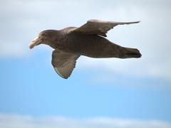 Giant petrel in flight