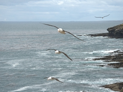 Black browed albatrosses flying in formation; the rookery