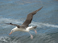 Albatross coming in for a landing