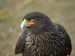 "Striated caracara, a bird of prey more commonly known as ""Johnny Rook"""